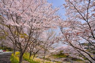 fuji_sakura201902t.jpg