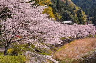 fuji_sakura201902u.jpg