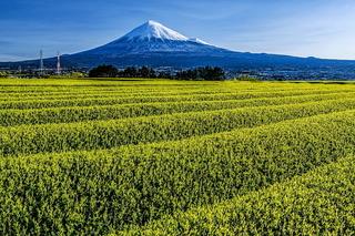 fuji_shincha2020q.jpg