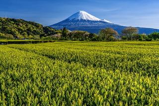 fuji_shincha2020x.jpg