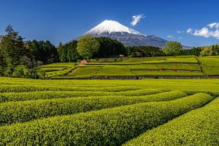 fuji_shincha2021e.jpg