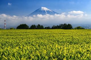 fuji_shincha2021p.jpg