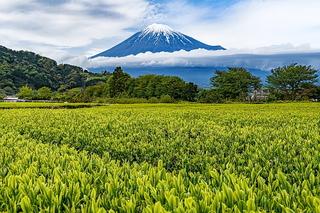 fuji_shincha2021q.jpg