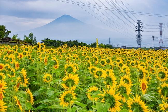 iwamoto_himawari2019g.jpg
