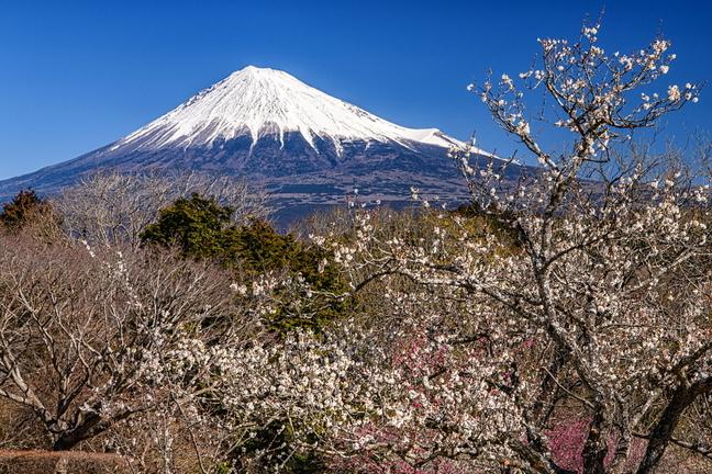iwamoto_ume202102d.jpg
