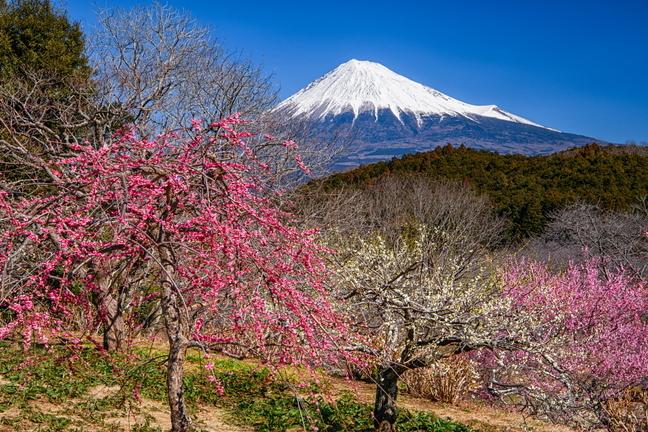 iwamoto_ume202102g.jpg
