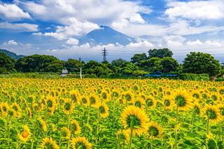 kari_himawari2021c.jpg