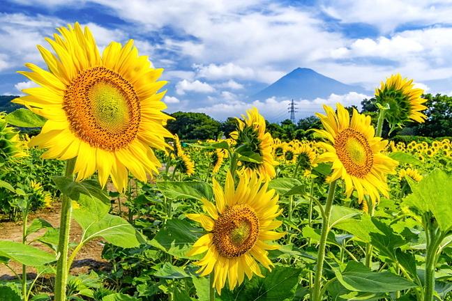 kari_himawari2021d.jpg