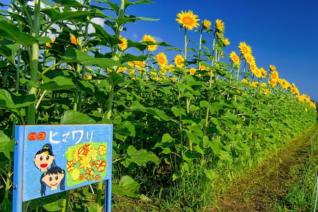 kari_himawari2021p2h.jpg