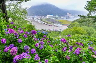 shimoda_ajisai03.jpg