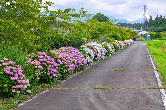 shiraito_ajisai01.jpg