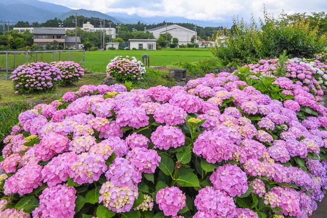 shiraito_ajisai04.jpg