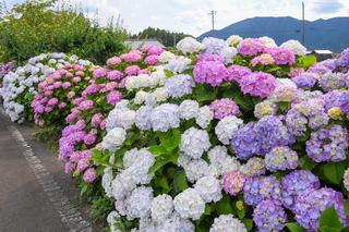shiraito_ajisai08.jpg