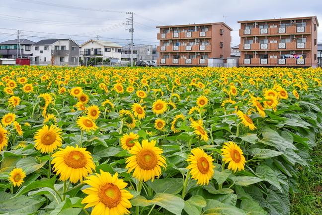 tago_himawari2019a.jpg