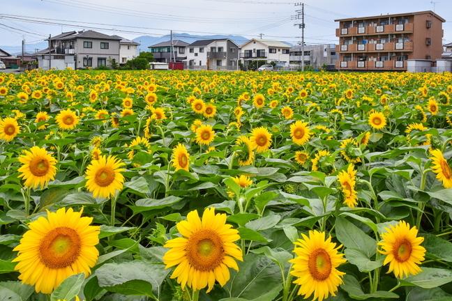 tago_himawari2019b.jpg