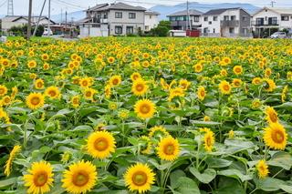 tago_himawari2019c.jpg