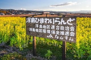 uki_nanohana03.jpg